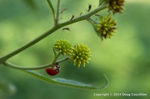 photograph of a ladybird beetle feeding on aphids