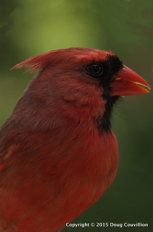 photograph of a male Northern Cardinal