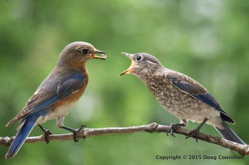 photograph of a female Eastern Bluebird feeding an juvenile Eastern Bluebird
