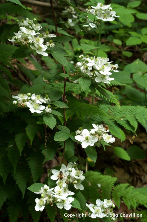 photograph of wild blackberry blossoms in Shenandoah National Park, Virginia, USA