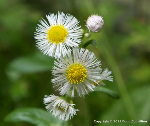 macro photograph of Daisy Fleabane growing in Shenandoah National Park, Virginia, USA
