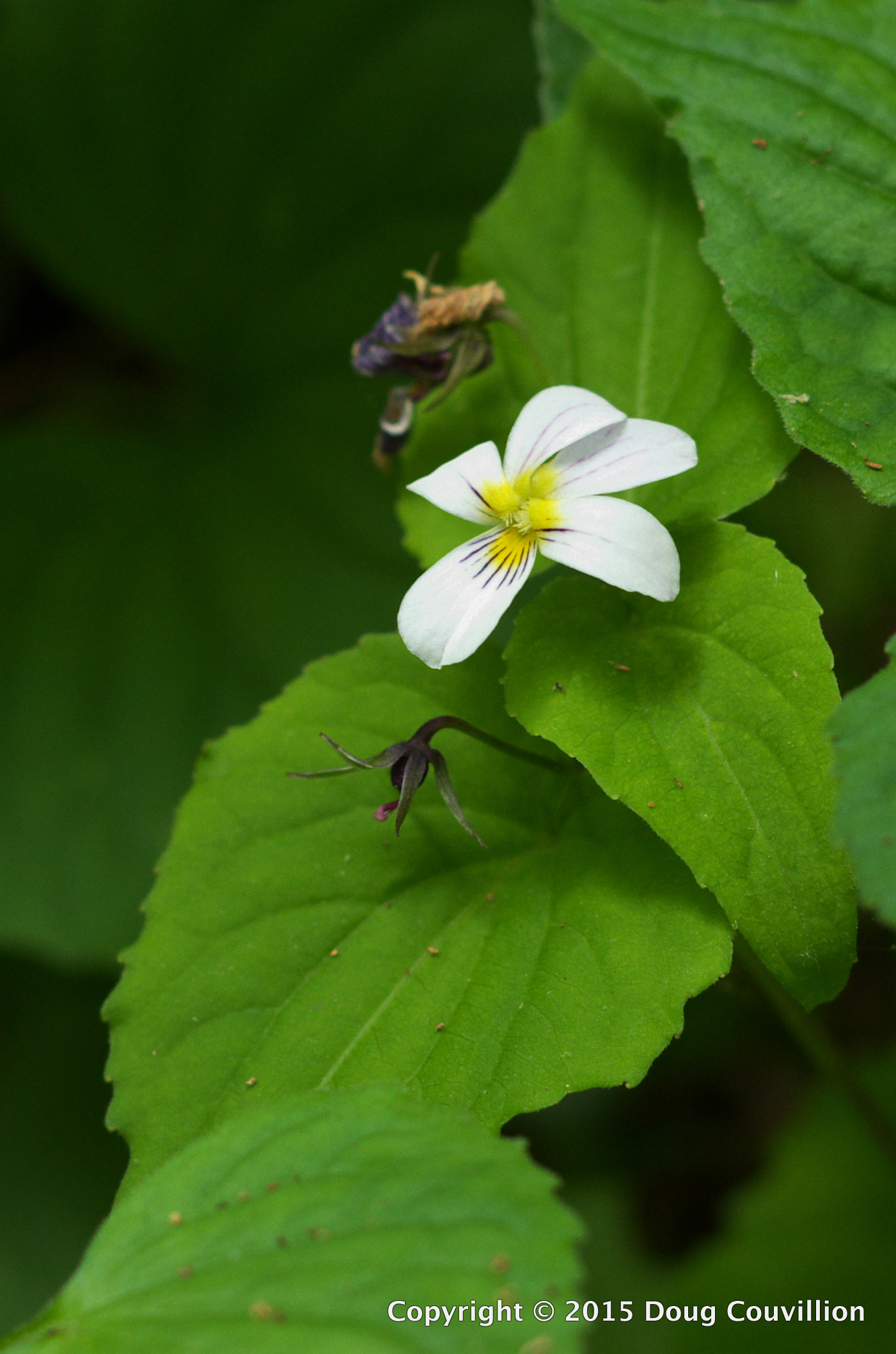 photograph of a Canada Violet growing in Shenandoah National Park, Virginia, USA