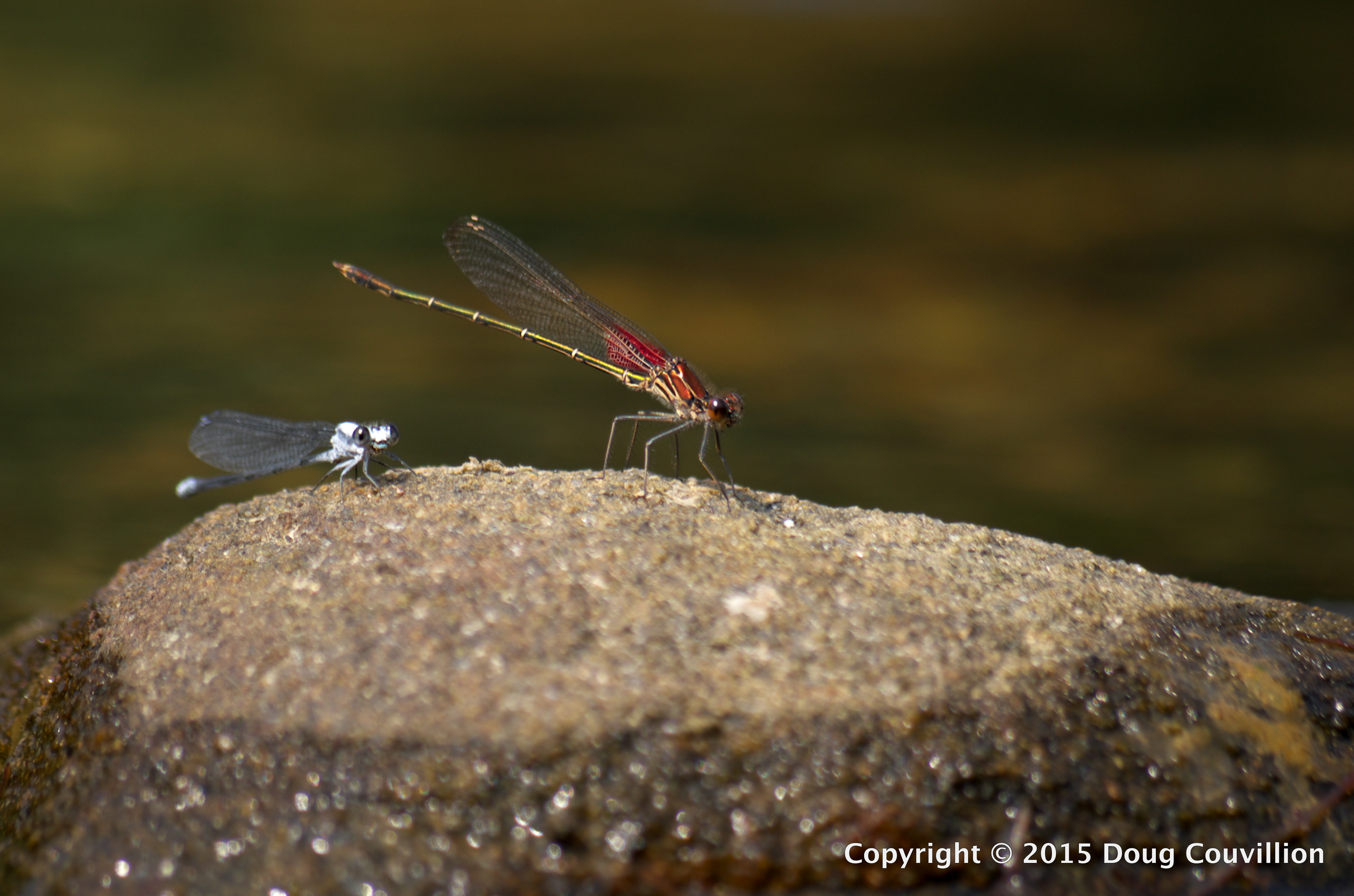 photograph of a red damselfly and a blue damselfly on a rock in the Rappahannock River in Virginia