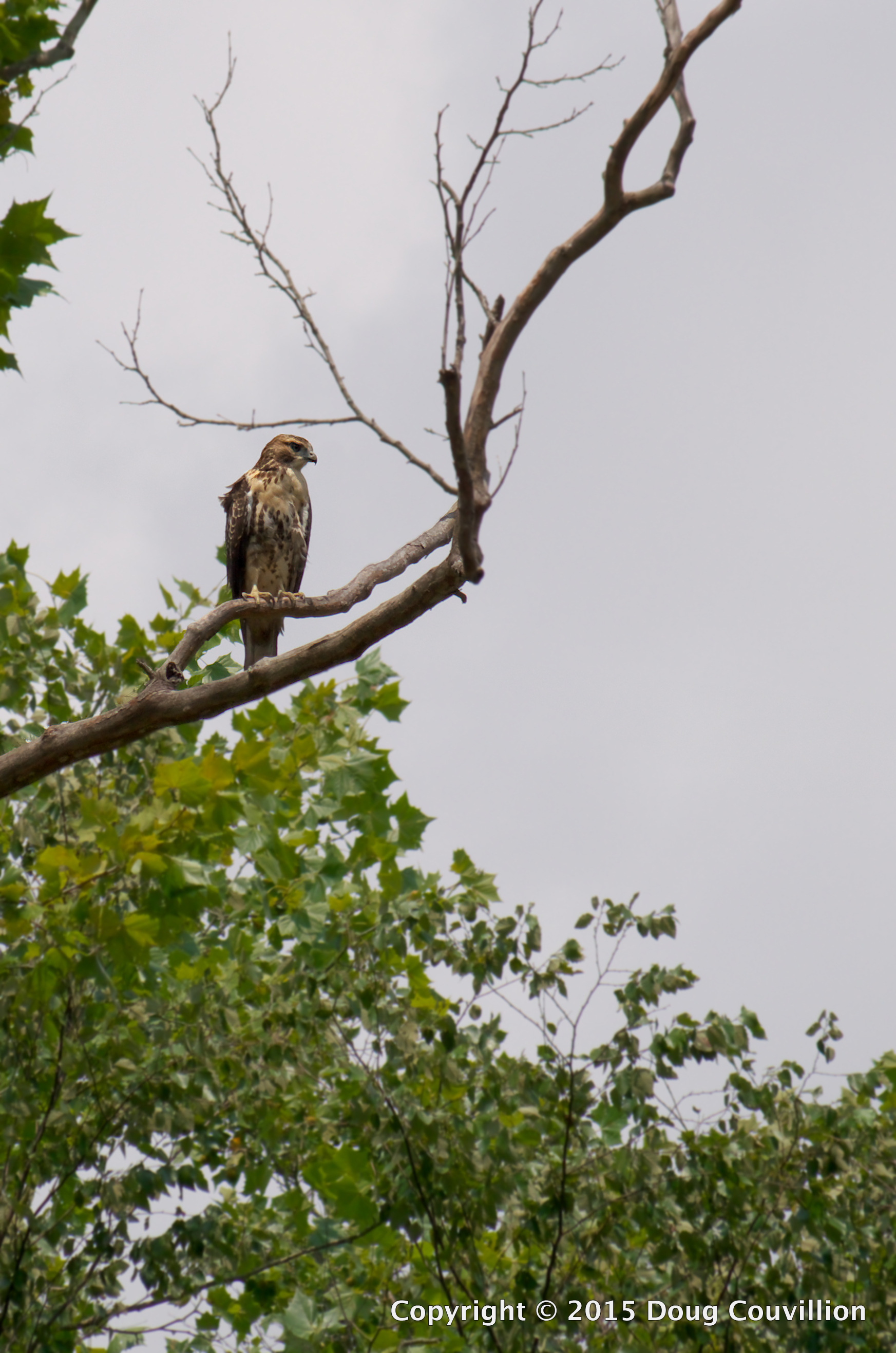 photograph of a young hawk perched in a tree on the Rappahannock River in Virginia