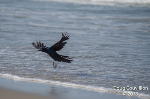 photograph of a Grackle in the surf in Corolla, NC, USA, copyright 2016 by Doug Couvillion
