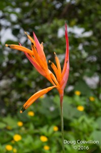 Photograph by Doug Couvillion: Blooming Parakeet Heliconia flower