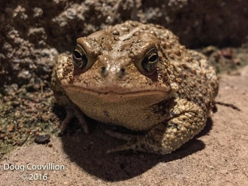 Photograph by Doug Couvillion: Southern Toad