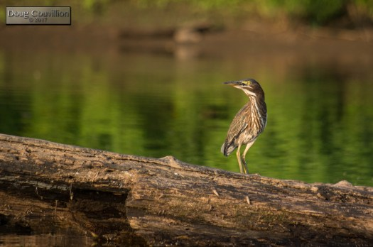 photograph of an immature green heron on a log in the James River by Doug Couvillion