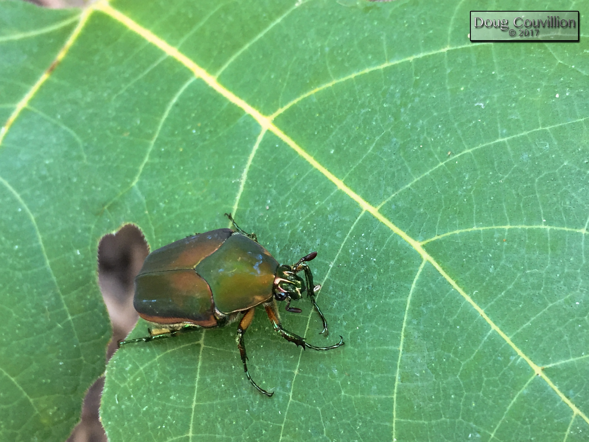 photograph of a Green June Beetle by Doug Couvillion