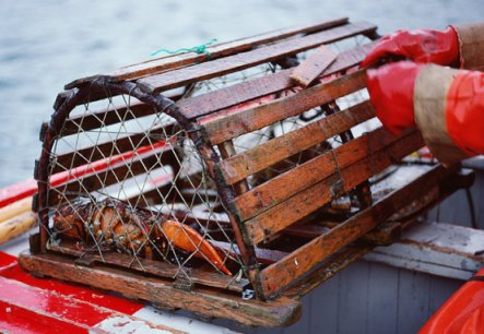 """An unlucky lobster in a """"trap"""""""