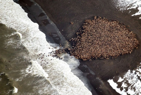 This aerial photo, captured by Corey Accardo of the NOAA, shows the enormous walrus haul-out.  (photo in the public domain)