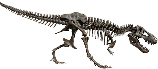 This is reconstruction of a Tyrannosaurus rex skeleton.  (click for credit)