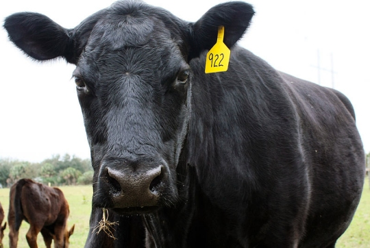 This Black Angus cow is not happy about a study done by Carnegie Mellon University! (click for credit)