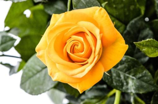 Mawar kuning via unsplash ala duniamasak