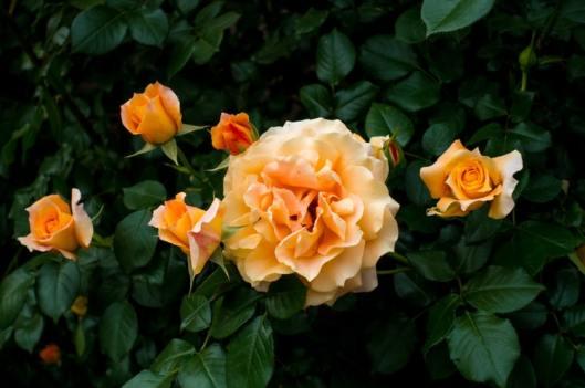 arti warna mawar orange via unsplash ala duniamasak
