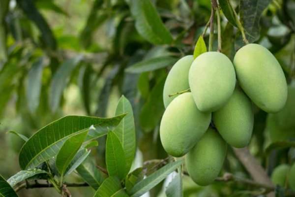 Jenis buah mangga favorit banyak orang via freepik ala tim duniamasak.com