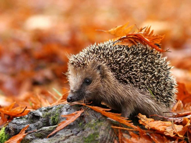 Wildlife in the garden - Hedgehog