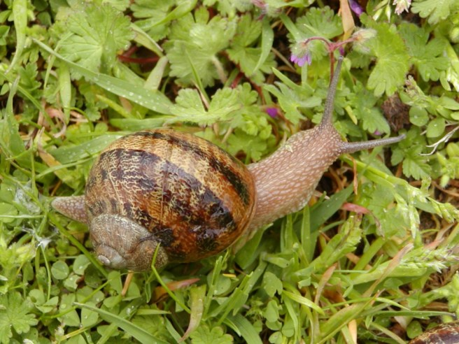 Wildlife in the garden - Snail