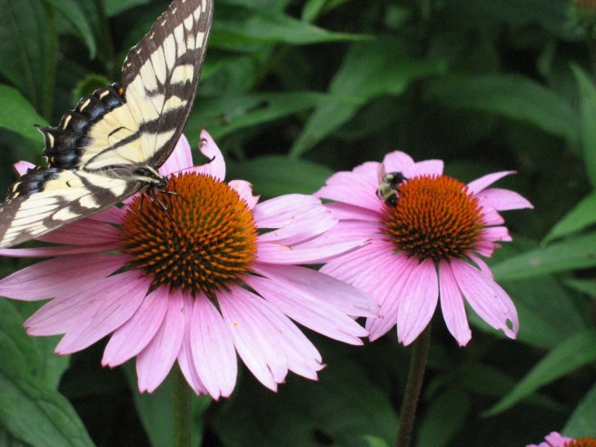 Wildlife in the garden - Purple Coneflower