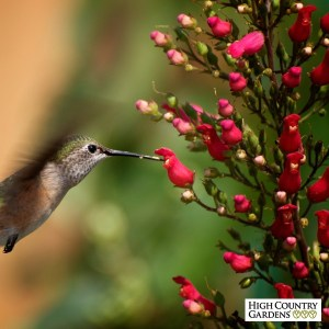 hummingbird-at-red-birds-in-a-tree-mrael