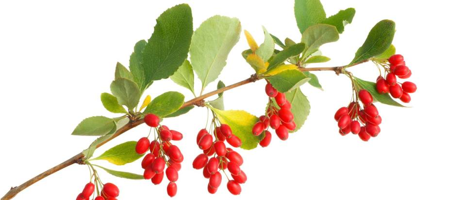 In this picture you can see Berberine. It's a fruit commonly found in forrests throughout the planet.