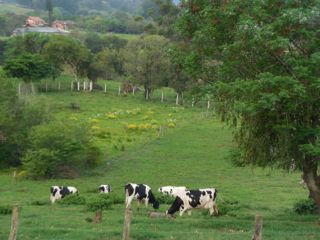 Chacara cows