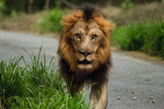 a lion walking along the road