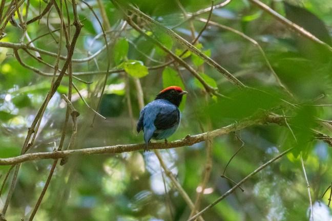 Foto mostra uma das aves fotografadas durante o passeio; Tangará em meio a árvore