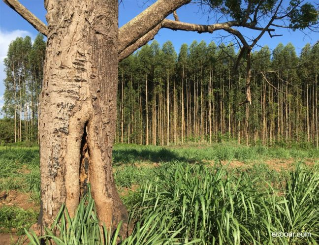 Foto mostra árvores de eucalipto ao fundo, plantada por empresa de reflorestamento