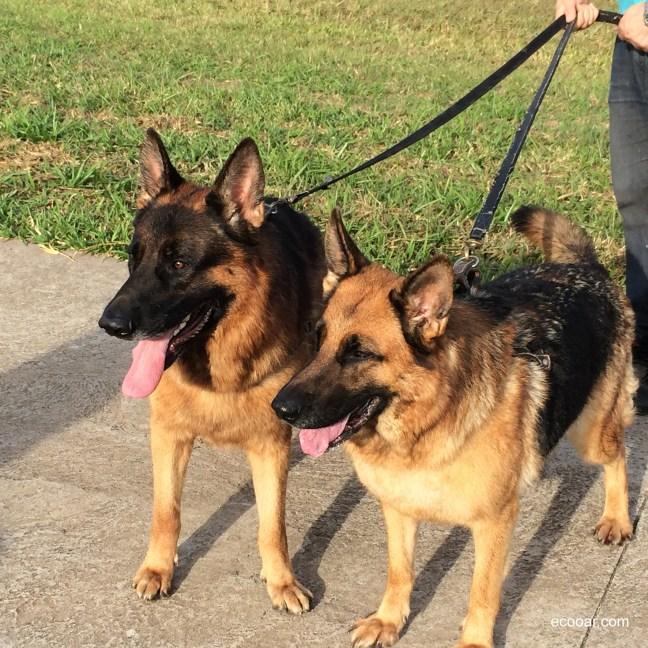 Foto mostra dois cães da raça Pastor Alemão
