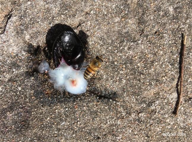 Foto mostra jabuticaba no chão, com abelha ao lado