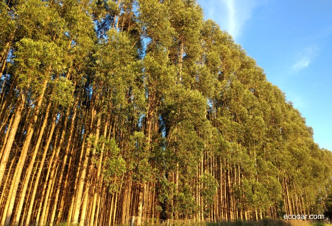 Foto mostra plantação de Eucalipto, que por ser exótica, não é considerada uma das árvores nativas do país