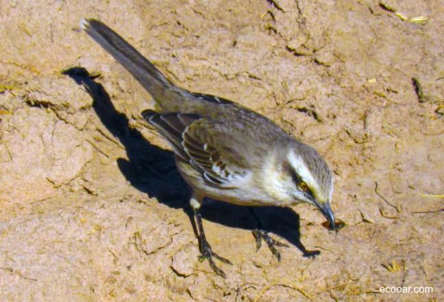Foto mostra ave Sabiá do campo comento um inseto