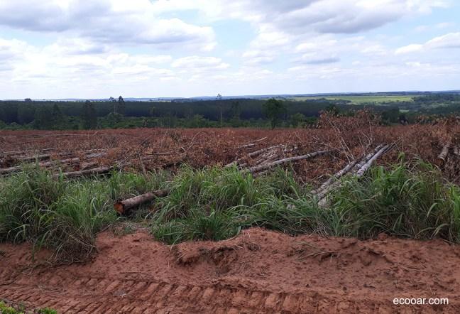 Foto mostra árvores de eucalipto derrubadas antes de serem levadas para as indústrias de celulose