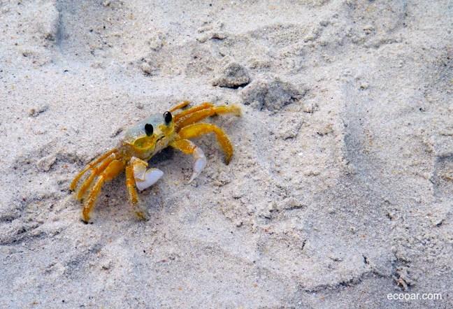 Foto mostra Caranguejo maria-farinha na areia de uma das praias de Florianópolis