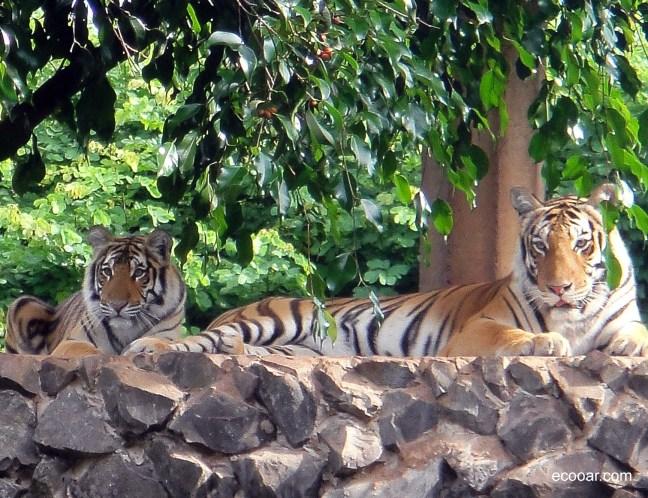 Foto mostra dois tigres descansando sob a sombra de uma árvore