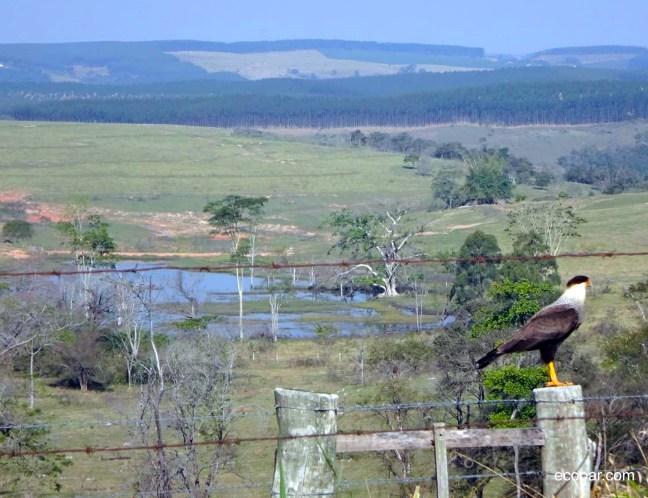Foto mostra ave Carcará sobre uma cerca com um vale ao fundo