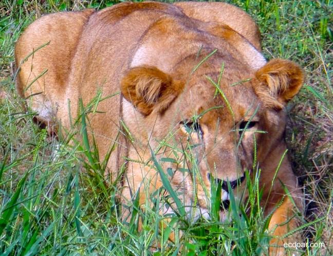 Foto mostra leoa deitada em relva