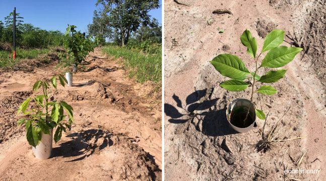 A imagem pode conter: mudas de árvores de Ipê Rosa e Pau Terra