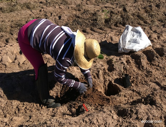 Foto mostra mulher plantando uma árvore em área de reflorestamento que leva o Selo Verde Ecooar
