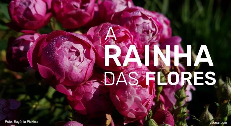 Foto contém foto de rosa com título escrito 'A rainha das flores'