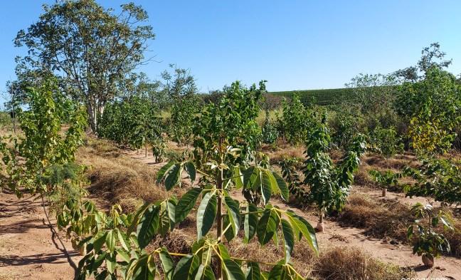 Foto mostra árvores plantadas em área de reflorestamento da Casaes e Almeida