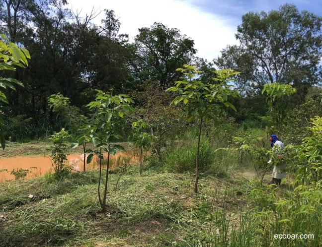 Foto mostra um plantio de árvores protegendo um curso d´água
