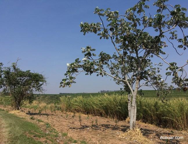 A foto mostra árvore de embaúva em área de reflorestamento