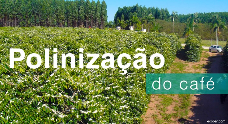 Foto mostra florada do café