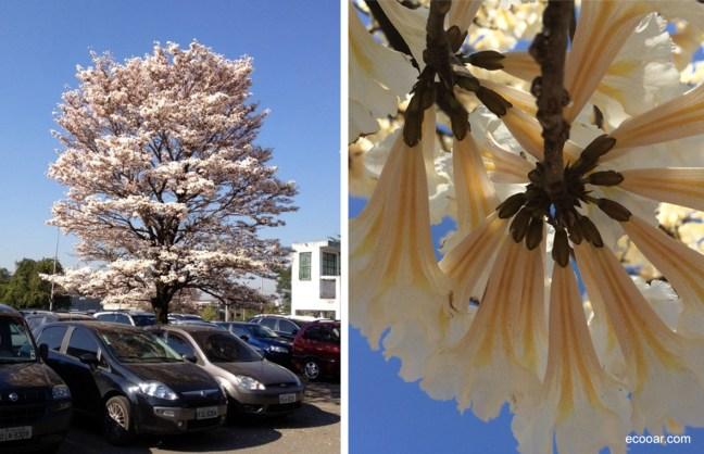 Fotos mostram flores de Ipês brancos em estacionamento