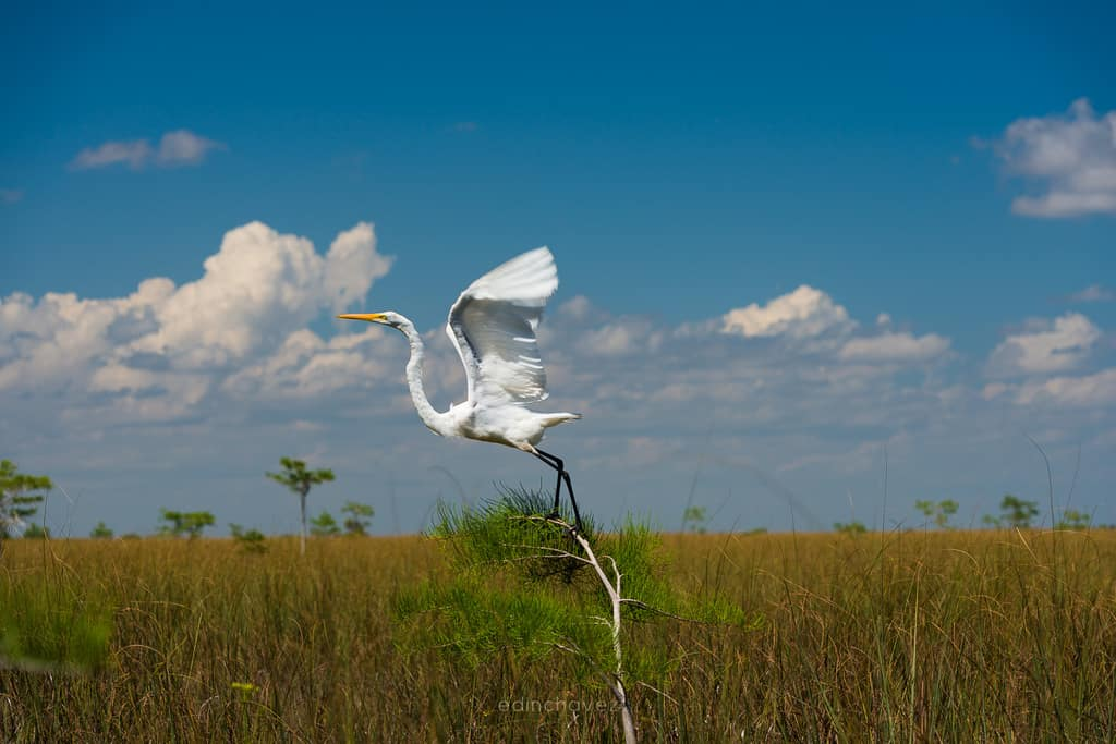Great Egret - image  on https://blog.edinchavez.com
