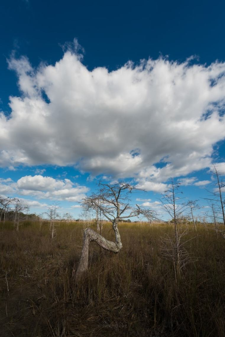 Where is the Z tree in the Everglades - image  on http://blog.edinchavez.com