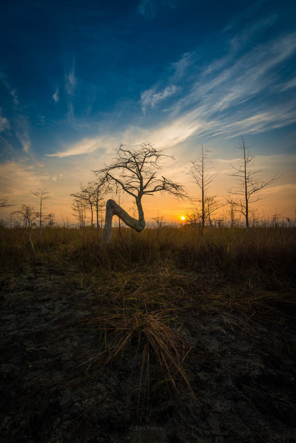 The Z Tree Everglades Florida - image  on https://blog.edinchavez.com