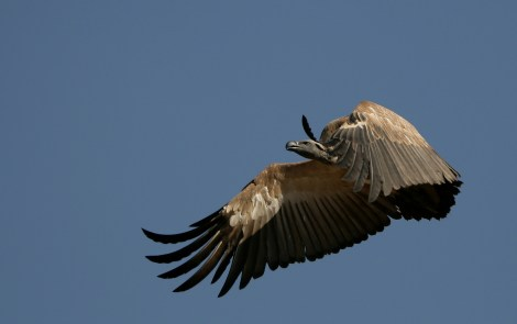 Cape vultures, like this one flying over its native grounds in Gauteng, South Africa, are listed as a vulnerable species. This means they are not quite endangered, but still face threats such as habitat loss, poisoning, and electrocution. Photograph by NJR ZA, courtesy Wikimedia. This file is licensed under the Creative Commons Attribution-Share Alike 3.0 Unported license.